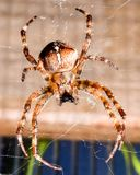 Stor spindel som hänger på dess rengöringsduk royaltyfri bild