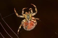 Stor spindel som väver rengöringsduk arkivbilder