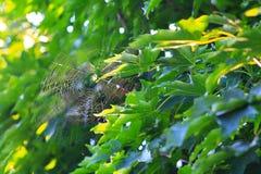 Stor spindelrengöringsduk i träd Arkivbild