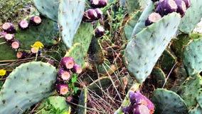 Stor spindelrengöringsduk på kaktuns för taggigt päron med röd mogen frukt arkivbilder