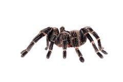 stor spindeltarantel Royaltyfri Bild