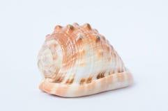 Stor spiral havsskalcloseup Royaltyfria Foton