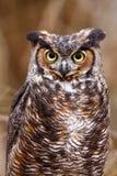 stor stående för horned owl Arkivbilder