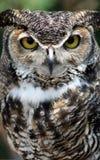 stor stående för horned owl Royaltyfria Foton