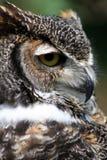 stor stående för horned owl Royaltyfri Foto
