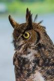stor stående för horned owl Royaltyfri Bild