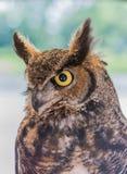 stor stående för horned owl Royaltyfria Bilder
