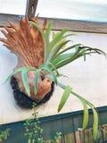 Stor Staghorn eller Elkhorn ormbunke Royaltyfria Foton