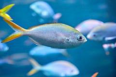Stor stim av den Yellowback Fusilier havsfisken eller den Caesio xanthonotaen royaltyfria bilder
