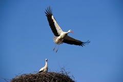 Stor stork Royaltyfri Foto
