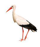 stor storkwhite Arkivbild