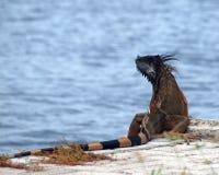 stor storslagen leguan för cayman Royaltyfri Bild