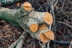 Stor stubbe med tvärsnitt och sågspån på bakgrund för trädfilialer Sågad bunt för trä- och snittträdfilialer Bitande tr?d royaltyfri foto