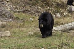 Stor svart björn i en dal Arkivfoto