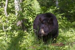 Stor svart björn i skog Royaltyfria Bilder