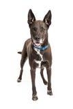 Stor svart blandad avelhund Arkivfoton