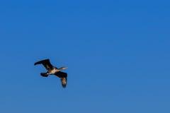 Stor svart cormorant Arkivfoton