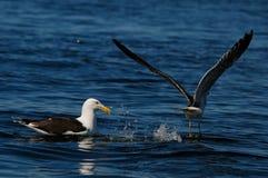 Stor svart-dragen tillbaka fiskmåsstart för flyg Arkivbild