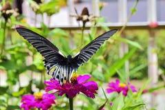 Stor svart fjäril & x28; papiliamemnon& x29; Arkivfoton