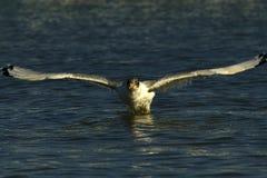 Stor svart hövdad fiskmås Royaltyfri Foto