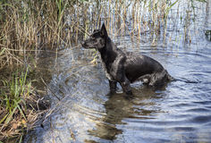 Stor svart lös hund som ut går från sjön Royaltyfria Foton