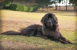 Stor svart newfoundland hund som lägger ner på torrt gräs i en parkera arkivfoton