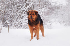 Stor svart röd hund på snön arkivbilder