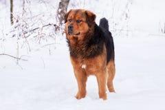 Stor svart röd hund på snön royaltyfria foton