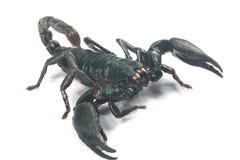 Stor svart skorpion arkivfoto