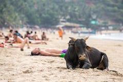 Stor svarta tjur och turister som har sunbath på stranden i Gokarna Royaltyfri Bild