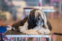 Stor svartvit maltese hund, medan koppla av Royaltyfria Foton
