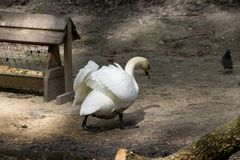 stor swanwhite Arkivfoton