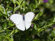 Stor sydlig vit fjäril, Ascia monuste Arkivfoto