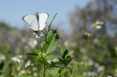 Stor sydlig vit fjäril på lösa tusenskönor Arkivfoto