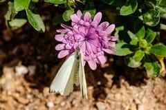 Stor sydlig vit fjäril på lilablomman Arkivfoton