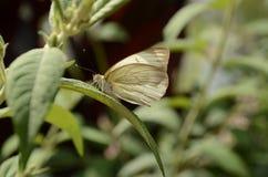 Stor sydlig vit fjäril som sunning sig arkivbild