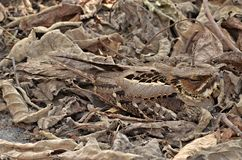 Stor-tailed c-som kamoufleras i skogen royaltyfri bild