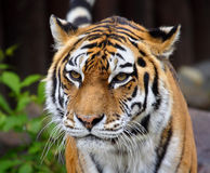 stor tiger Royaltyfria Foton