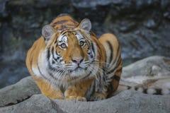 Stor tiger i zoo Royaltyfri Bild