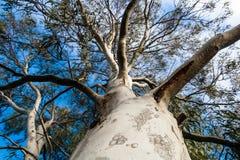 Stor tjock eukalyptusträd   Arkivbild