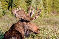 Stor tjurälg i sommarsammet Royaltyfria Bilder