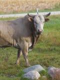 Stor tjur Arkivfoton