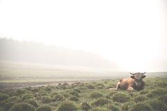 Stor tjur arounded dimma på den Olkhon ön bahamianen Royaltyfri Foto