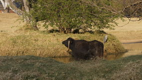 Stor tjur i vattnet Fotografering för Bildbyråer