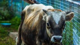 Stor tjur med horn Royaltyfri Fotografi