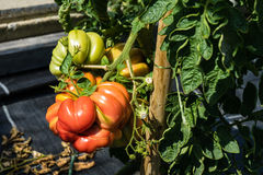 Stor tomat på växten som är klar att skörda moget arkivbilder