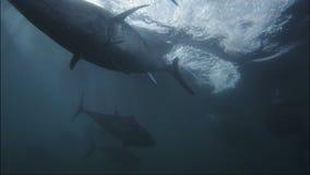 Stor tonfisk lager videofilmer