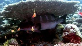 Stor toothy farlig fisk i undervattens- fantastisk havsbotten för koraller i Maldiverna lager videofilmer