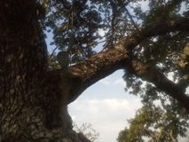 Stor trädfilial med kaktusskogen arkivbild