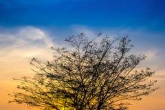Stor trädfilial på efter solnedgång med himmel och guld- ljus Arkivbild